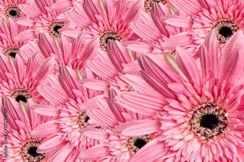 Photo Stands Candy pink Gerbera daisy beautiful pink flower