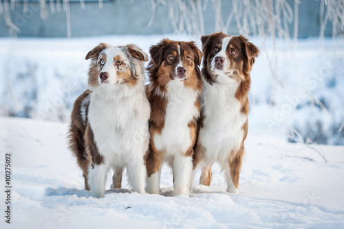 Photo  Group of three australian shepherd dogs in winter