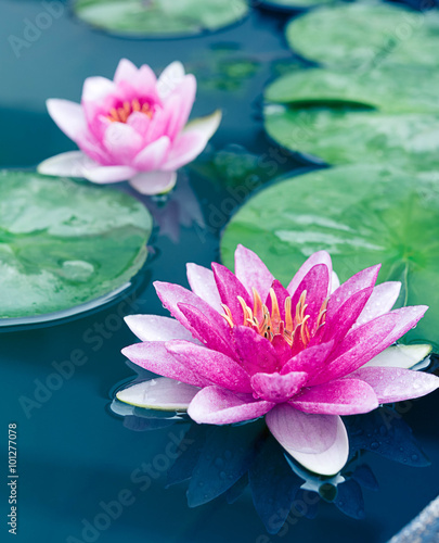 Foto op Canvas Lotusbloem beautiful waterlily or lotus flower in pond