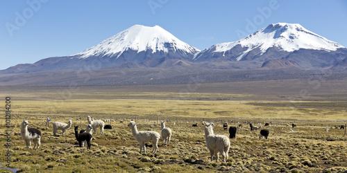 Fotografie, Obraz  Krajina pohoří And, s lamy pastvu.