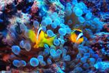 anemone fish, clown fish, underwater photo