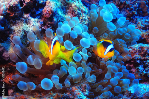 Photo Stands Coral reefs anemone fish, clown fish, underwater photo