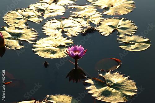 Deurstickers Waterlelies Lotus
