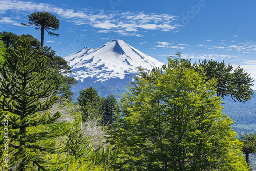 Araucaria forest in Conguillio National Park, Chile Canvas Print