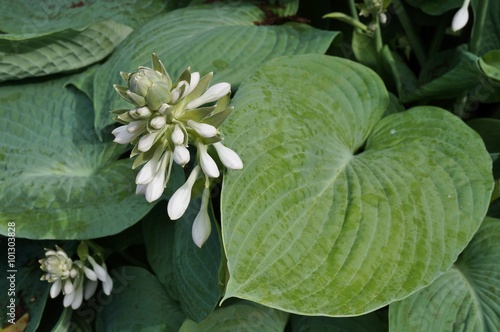 White Flowers Of Blue Green Hosta Plant Buy This Stock Photo And