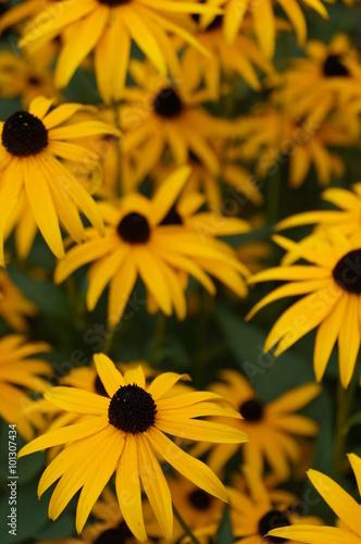 Fotografija  Yellow rudbeckia fulgida Black-eyed Susan flowers