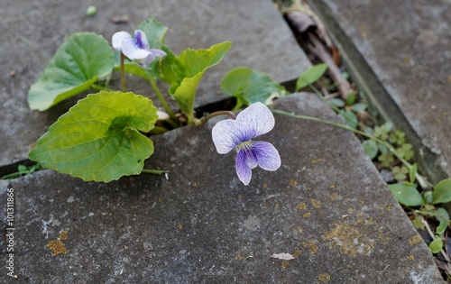 White and purple tiny violet pansy flowers grow through cracks in the pavement