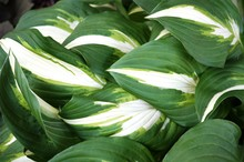 Variegated Green And White Hosta Leaves