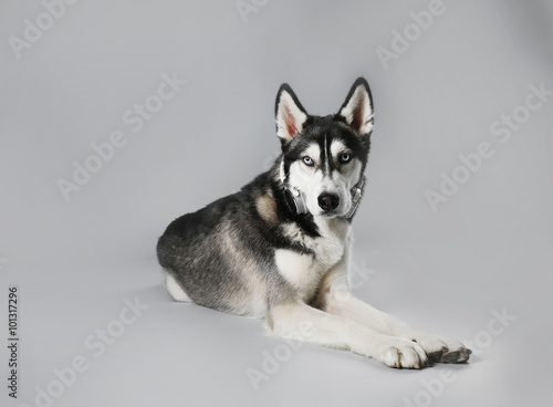 Deurstickers Franse bulldog Young Husky in headphones laying on grey background