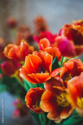 Foto op Canvas Cappuccino tulip