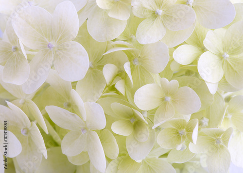 White hydrangea flower closeup. Floral background.