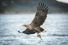 White-tailed Eagle Caryying A ...