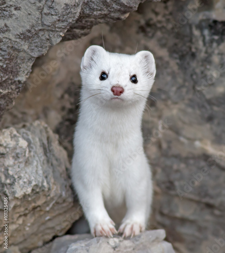 Short-tailed Weasel Canvas-taulu