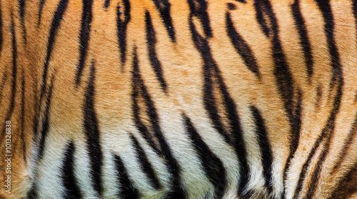 Foto auf AluDibond Tiger close up tiger skin texture