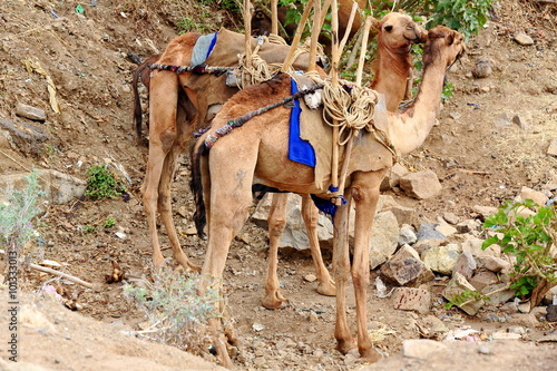 Photo  Pair of dromedary camels in the sunday market