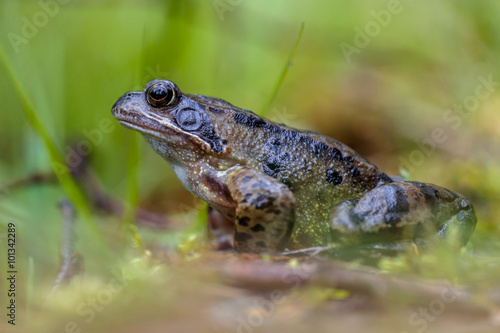 Canvas Prints Frog Male grass frog
