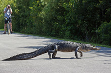American Alligator Walking  Ac...