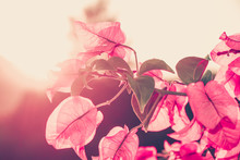 Image Of Bougainvillea Flowers...