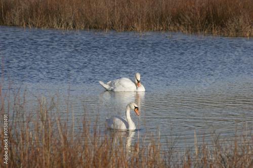 Canvas Prints Swan Zwanen in duinmeer