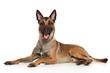 canvas print picture - Belgian Shepherd dog Malinois
