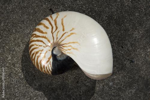 Fotografie, Obraz  nautilus pompilius shell isolated on white background