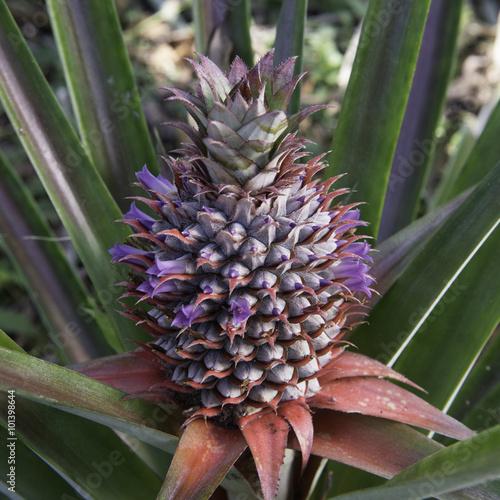 Ananas En Fleur Madagascar Buy This Stock Photo And Explore