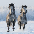 Two galloping Spanish horses