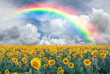 Fototapeta Tęcza - Landscape with sunflowers and rainbow