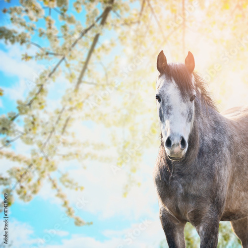 Fototapety, obrazy: Horse on background of spring blossom nature and blue sky