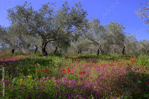 Tuinposter Olijfboom Spring in the garden. Olive trees and flowers.