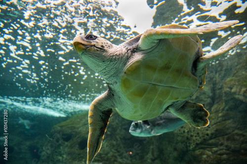 Fotografie, Obraz  Meeresschildkröte - Wasserschildkröte