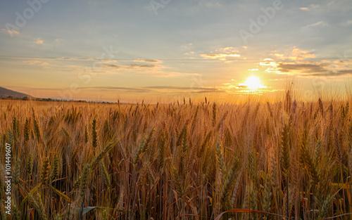Foto auf Gartenposter Landschappen Sunset over wheat field.