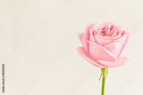 Single Pink Rose With Water Drops Series Of Pink Flowers Buy