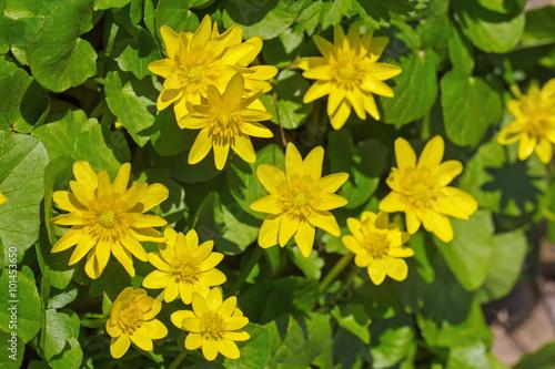 Fotografía  Lesser celandine flowers