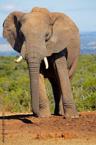 Foto op Aluminium Olifant Large African elephant bull (Loxodonta africana), Addo Elephant National park, South Africa.