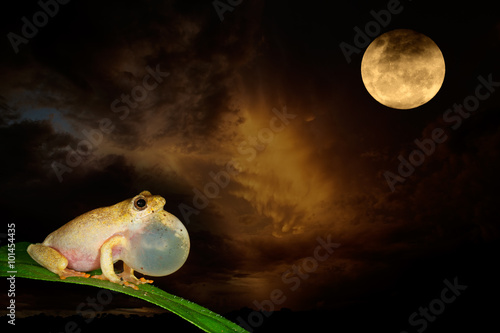 African painted reed frog (Hyperolius marmoratus) calling during a moonlit night.