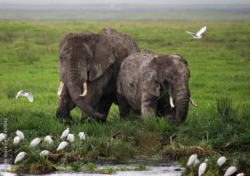 Two elephants in Savannah. Africa. Kenya. Tanzania. Serengeti. Maasai Mara. An excellent illustration.