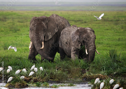 Two elephants in Savannah. Africa. Kenya. Tanzania. Serengeti. Maasai Mara. An excellent illustration.