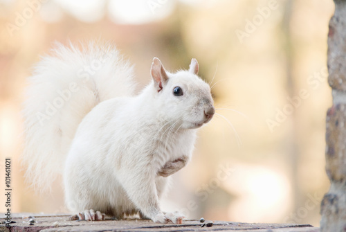 Fotobehang Eekhoorn White Squirrel