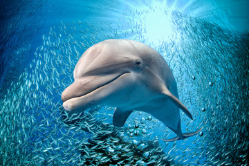Fototapeta Delfin dolphin underwater on blue ocean background