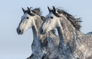 Two grey horses - portrait in motion