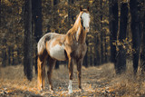 Fototapeta Horses - Portrait of the piebald horse in the forest