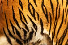 Beautiful Tiger Fur - Colorful Texture With Orange, Beige, Yello