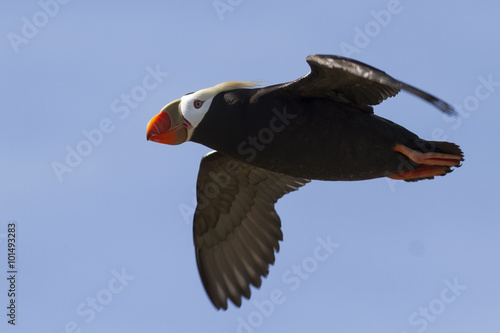 tufted puffin flying over the island cloudless summer day Canvas Print
