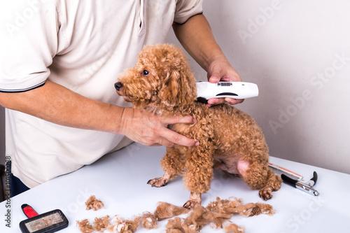 Fotografía  Groomer la preparación del perro de caniche con podadoras recorte en el salón
