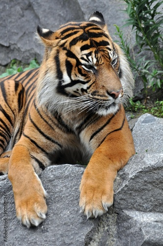 In de dag Tijger Tiger in Ruhe