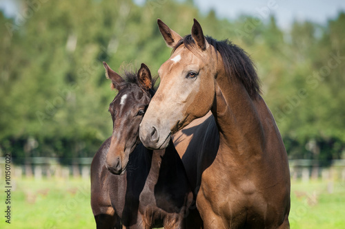Leinwand Poster Portrait of beautiful mare with a foal in summer