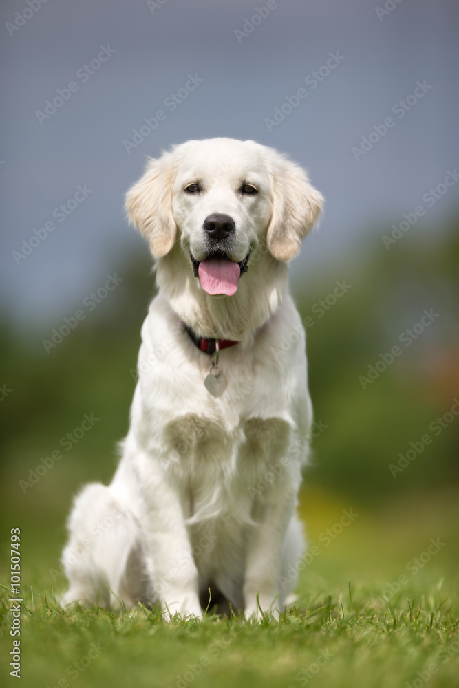 Photo  Happy and smiling Golden Retriever dog