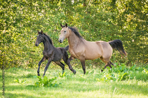 Photo Beautiful mare with foal running on the pasture in summer