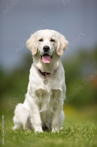 Happy and smiling Golden Retriever dog Poster